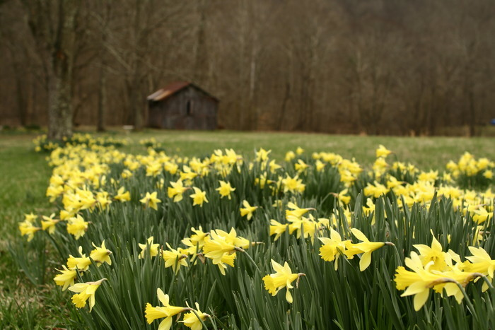 Barn-wildflowers-spring-daffodil_-_West_Virginia_-_ForestWander.jpg